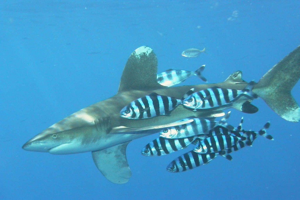 An oceanic whitetip: grumpy and probably homicidal, but thankfully a mid-ocean roamer.