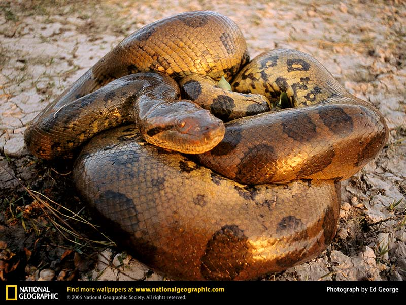 anaconda eats man. Isn#39;t that the cutest little