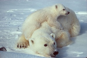 Despite their predatory instincts, polar bears love cubs, especially ones that aren't theirs, because those are edible.