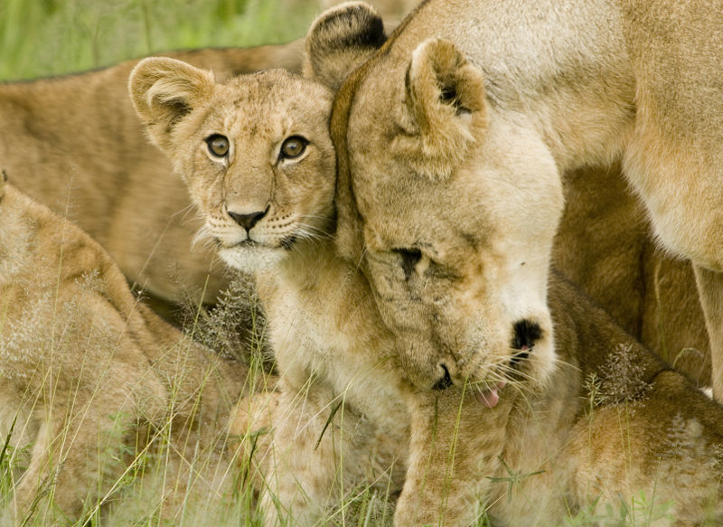 Adorable as they seem, this lioness and her cub are trapped in an abusive, one-sided relationship.