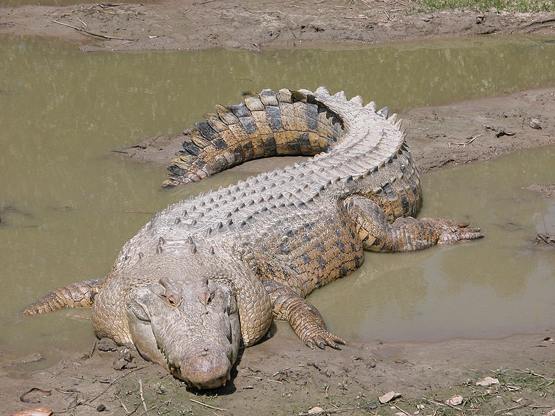 This is not an alligator.
