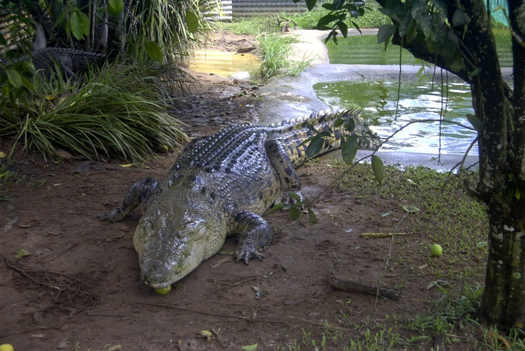 Don't be fooled by its apparent docility.  It is NOT AN ALLIGATOR.