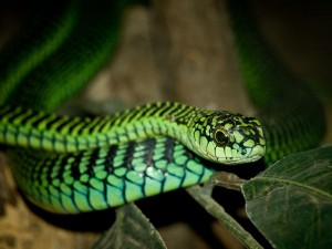 A boomslang should seldom be confused for a boomerang, and never more than once.