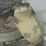 A surfeit of snakeage